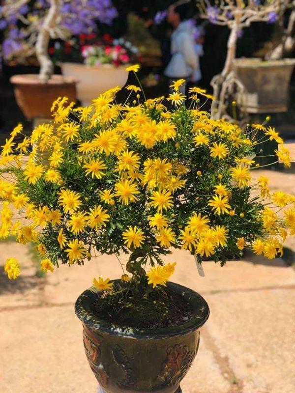 cuc-than-go-bonsai