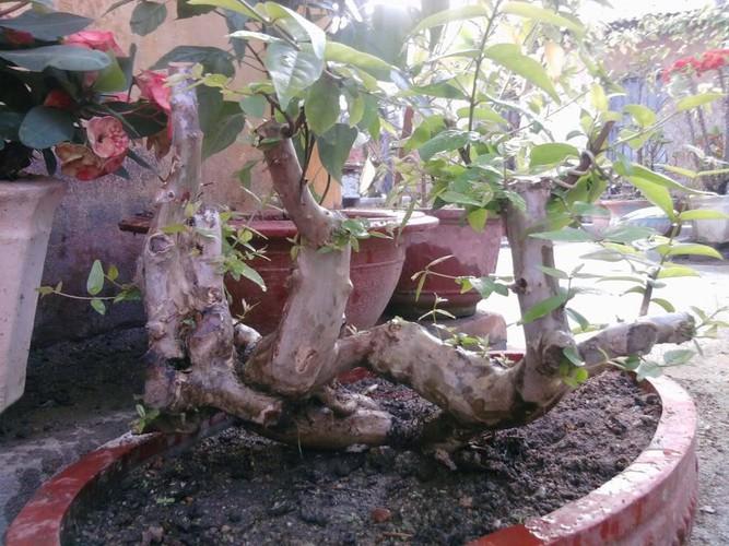 mua-ban-cay-bang-lang-bonsai